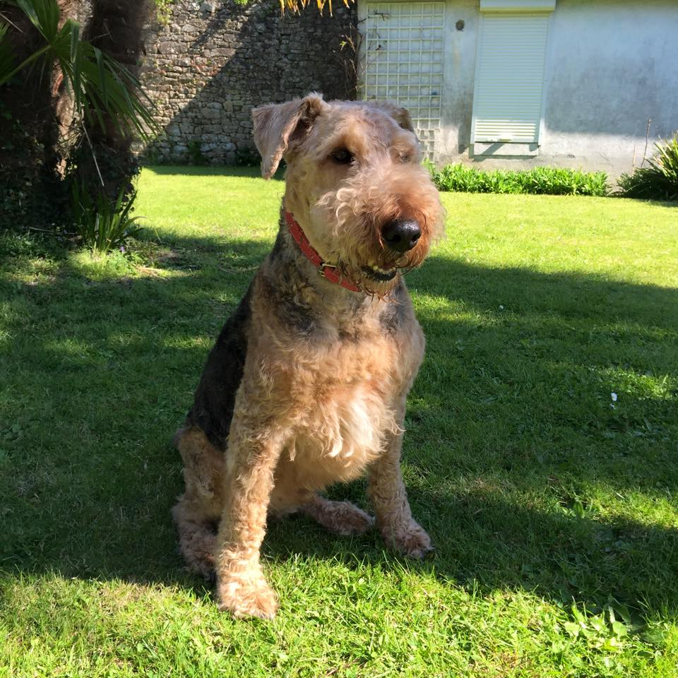 Azzaro Airedale Terrier - Terrier SOS - a UK-based dog rescue