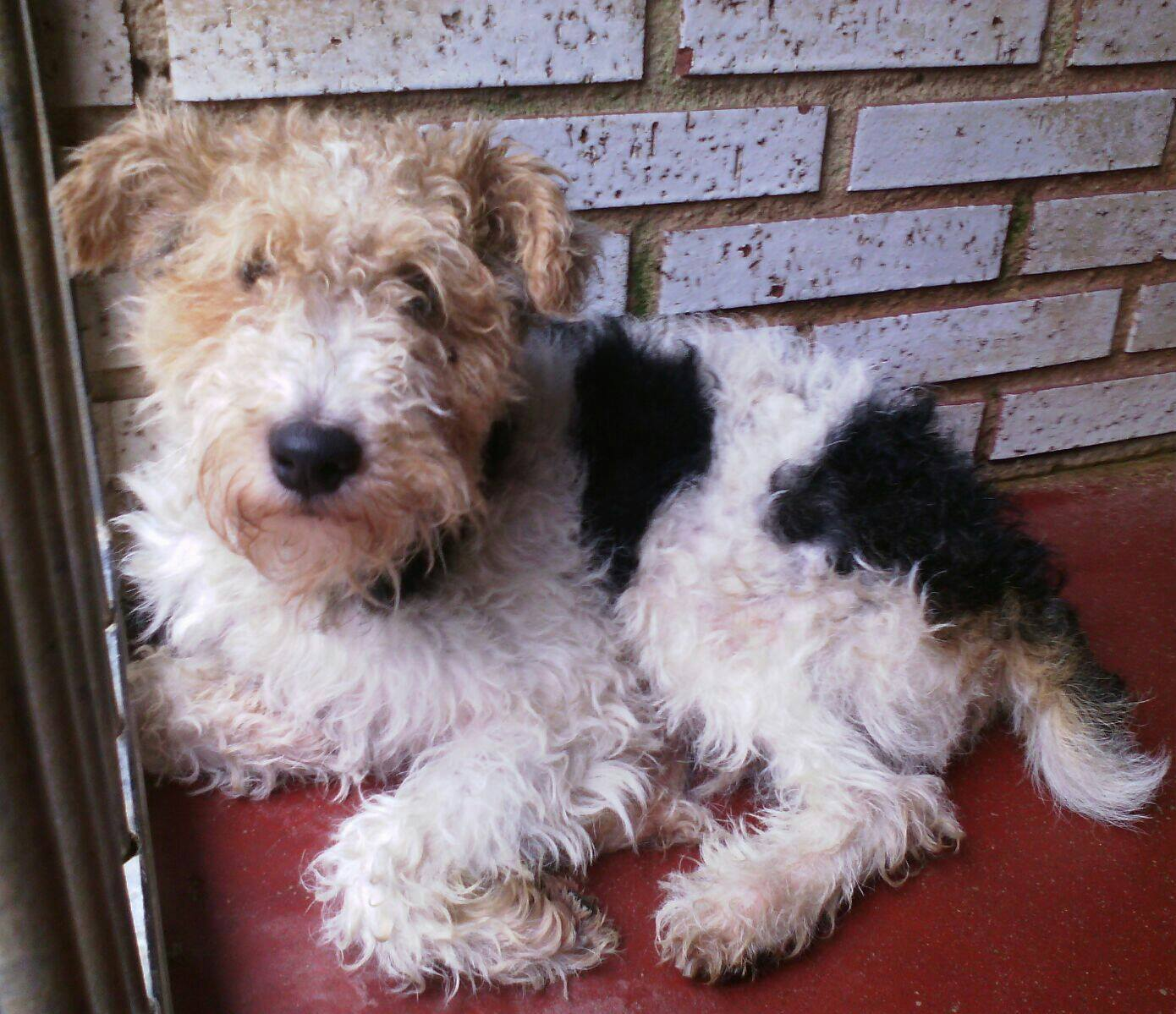 george wire fox terrier rehomed terrier sos a uk