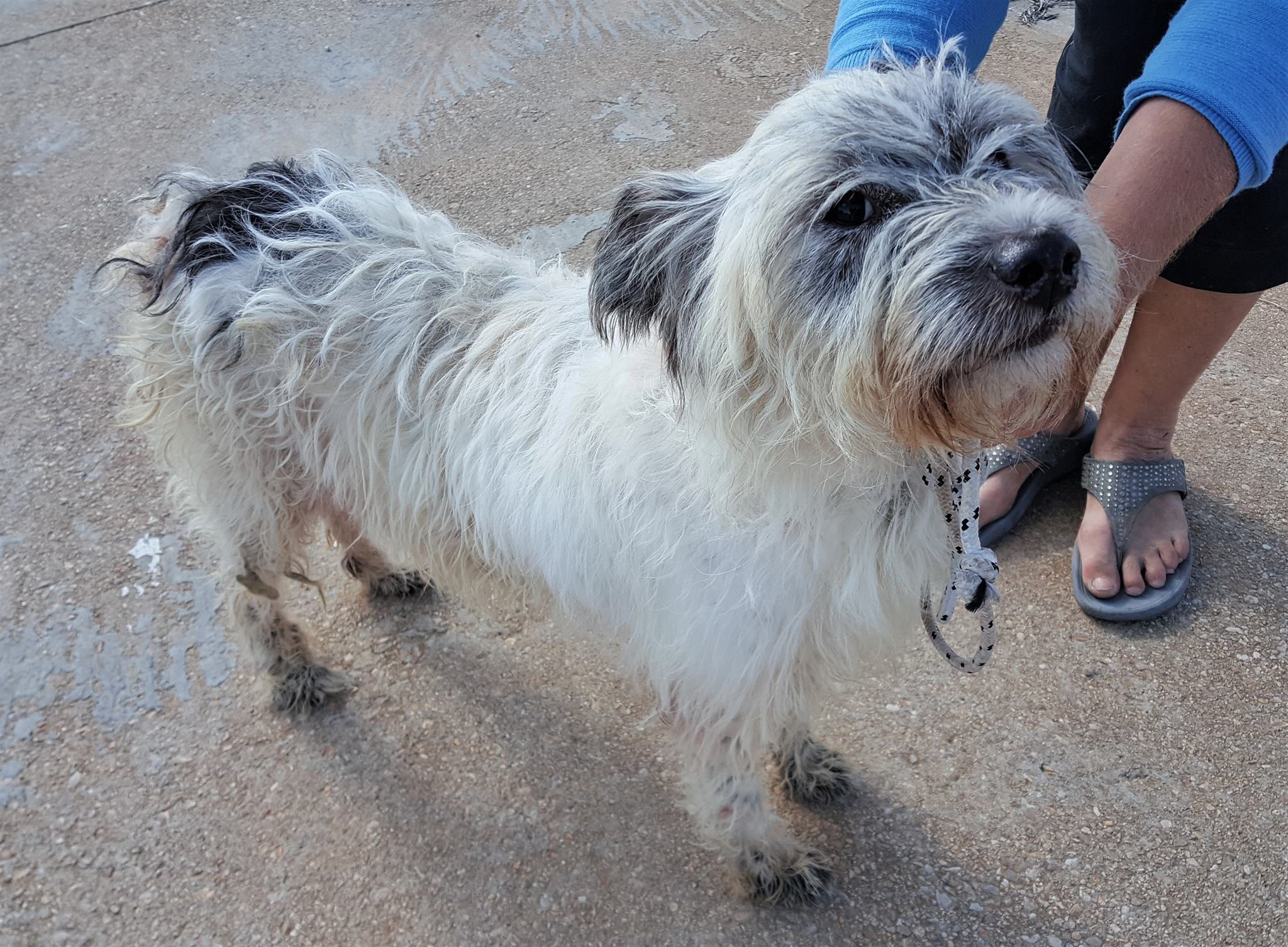 Available for Adoption Archives - Terrier SOS - a UK-based dog rescue