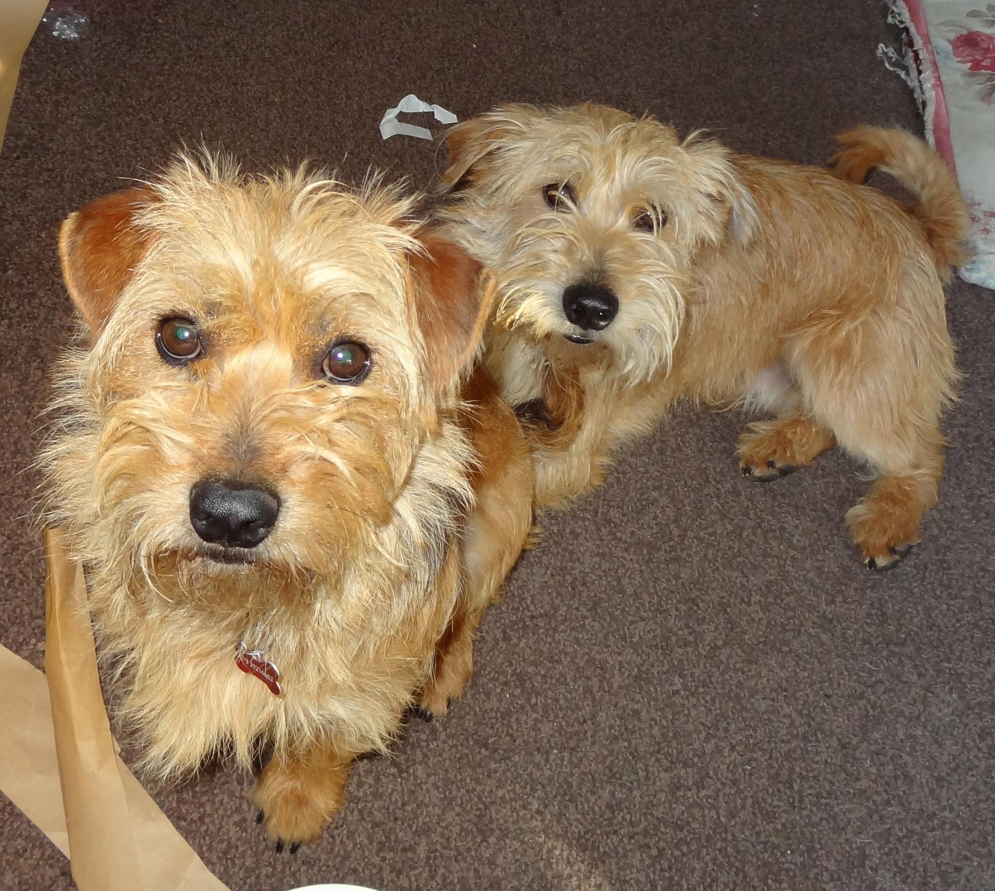 Zippy Amp Zappy Small Terrier Brothers Terrier Sos A Uk