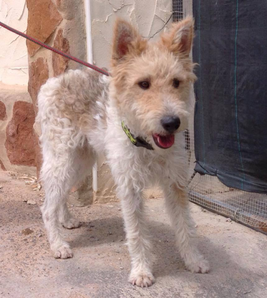 Teddy Ben Young Fox Terrier Terrier Sos A Uk Based Dog