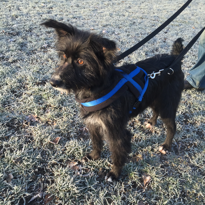 Olly lurcher terrier cross