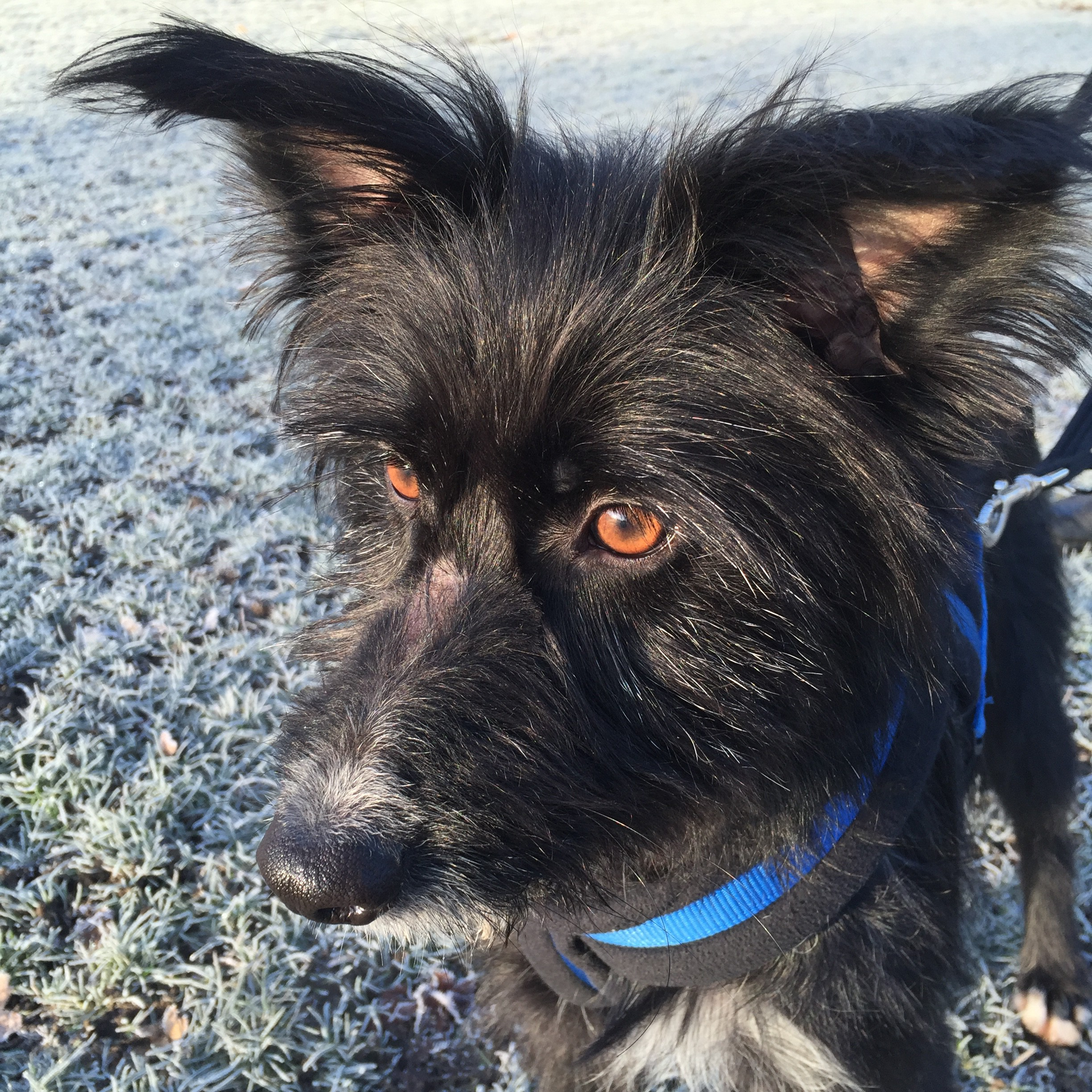 Olly black lurcher rescue dog now available for adoption via Terrier SOS.