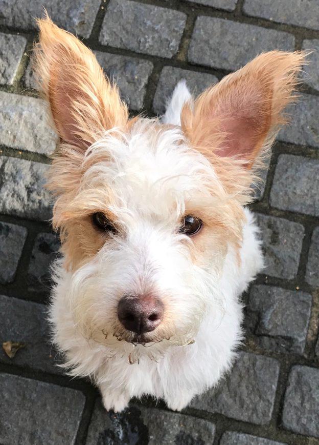 Alvin - Jack Russell Terrier - Rehomed - Terrier SOS - a UK